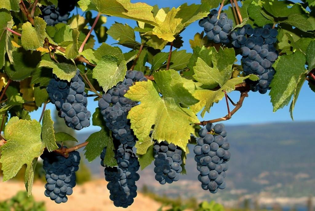 poljane grozdja zupa